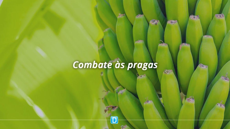 Plano nacional prevê ações para impedir entrada no Brasil de praga que ataca bananeiras